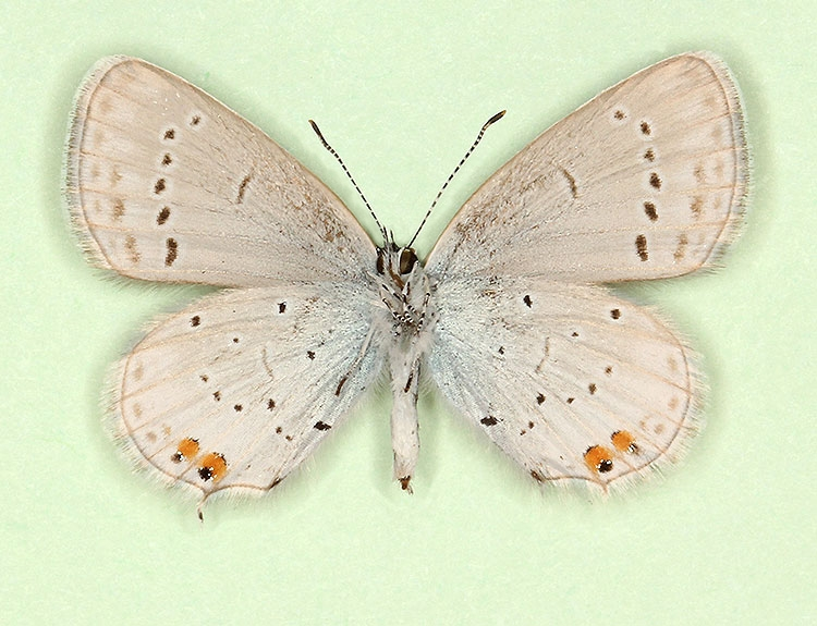 Typical Short-tailed Blue (Cupido argiades)