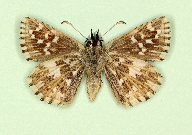 Typical Grizzled Skipper (Pyrgus malvae)
