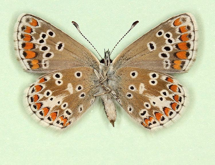 Typical Brown Argus (Aricia agestis)