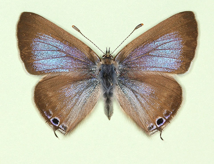Typical Long-tailed Blue (Lampides boeticus)