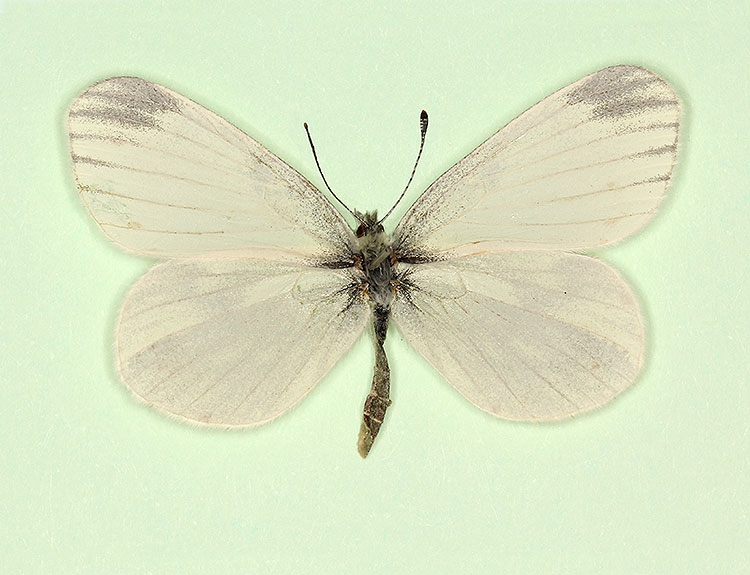 Typical Reals Wood White (Leptidea reali)