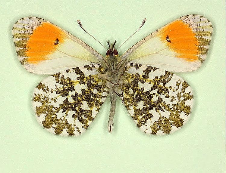 Typical Orange-tip (Anthocharis cardamines)