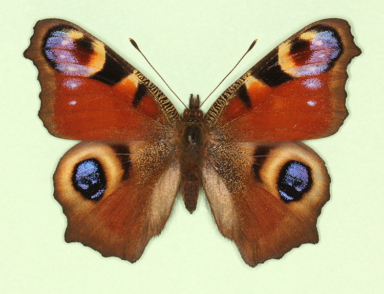 Typical Peacock (Inachis io)