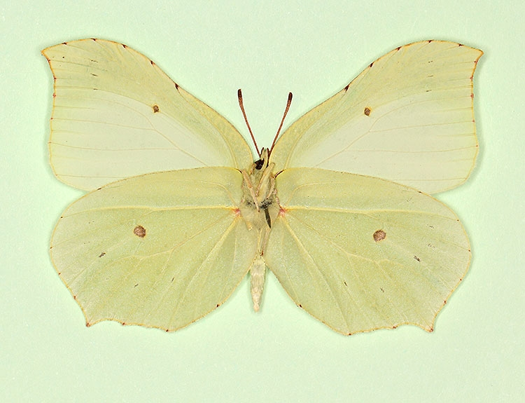 Typical Brimstone (Gonepteryx rhamni)