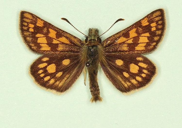 Typical Chequered Skipper (Carterocephalus palaemon)