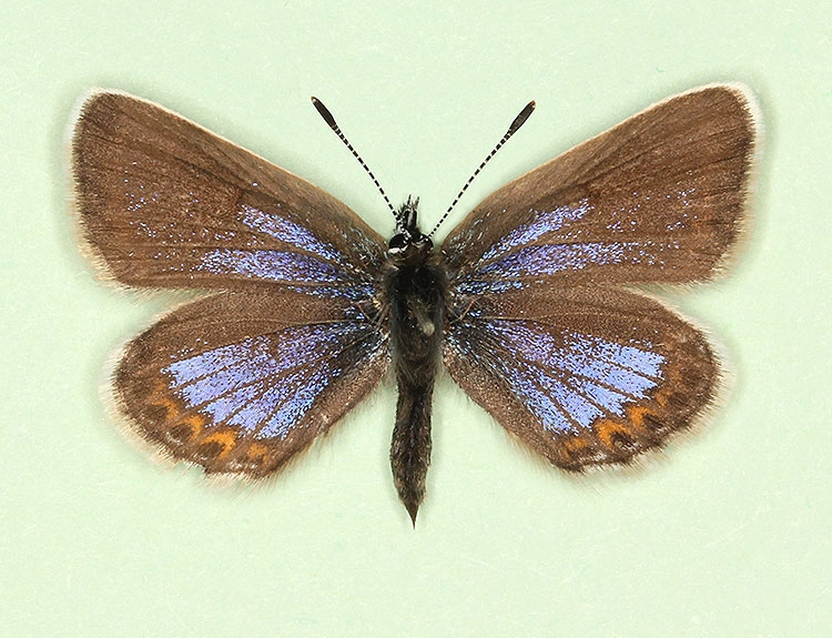 Typical Silver-studded Blue (Plebejus argus)