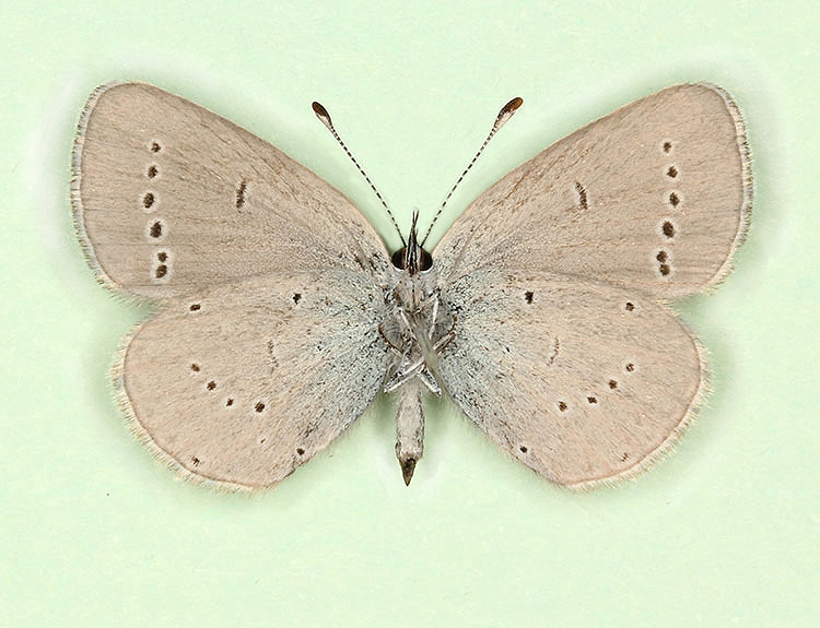Typical Small Blue (Cupido minimus)