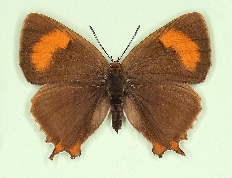 Typical Brown Hairstreak (Thecla betulae)