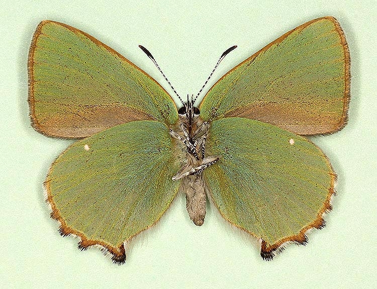 Typical Green Hairstreak (Callophrys rubi)