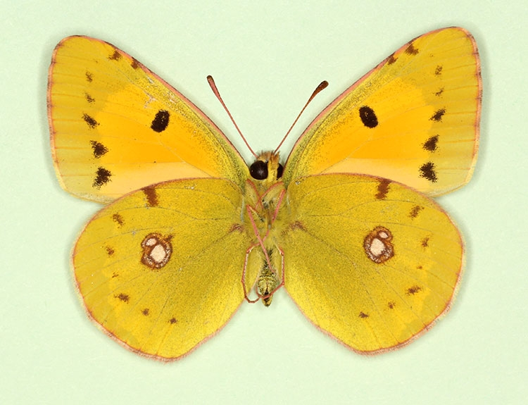 Typical Clouded Yellow (Colias croceus)