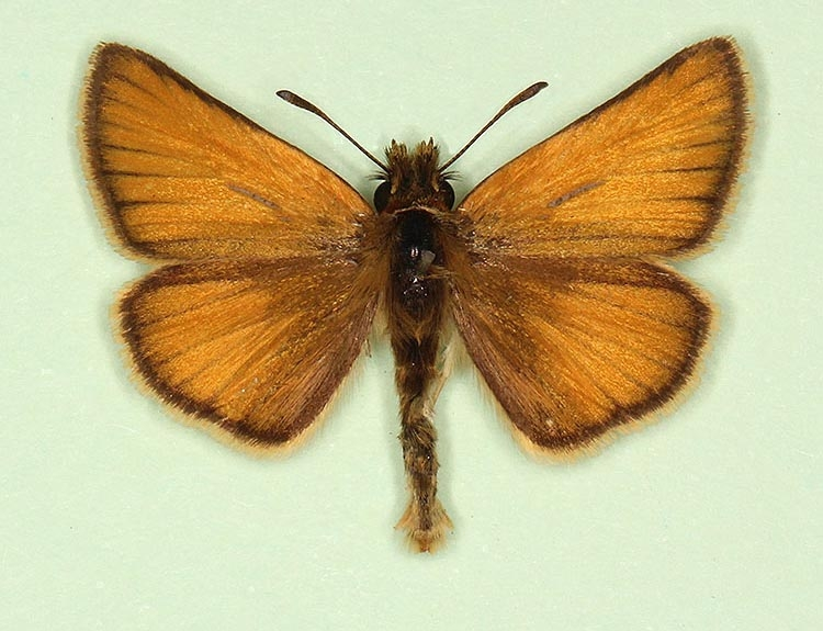 Typical Essex Skipper (Thymelicus lineola)