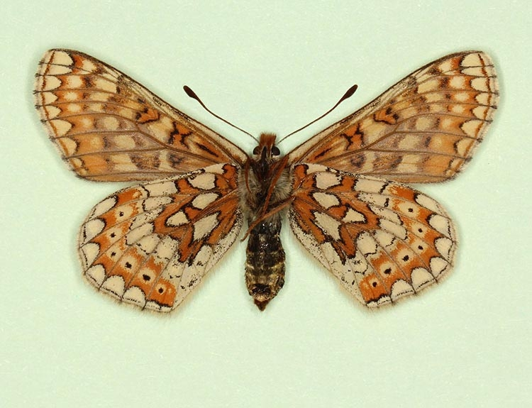 Typical Marsh Fritillary (Euphydryas aurinia)