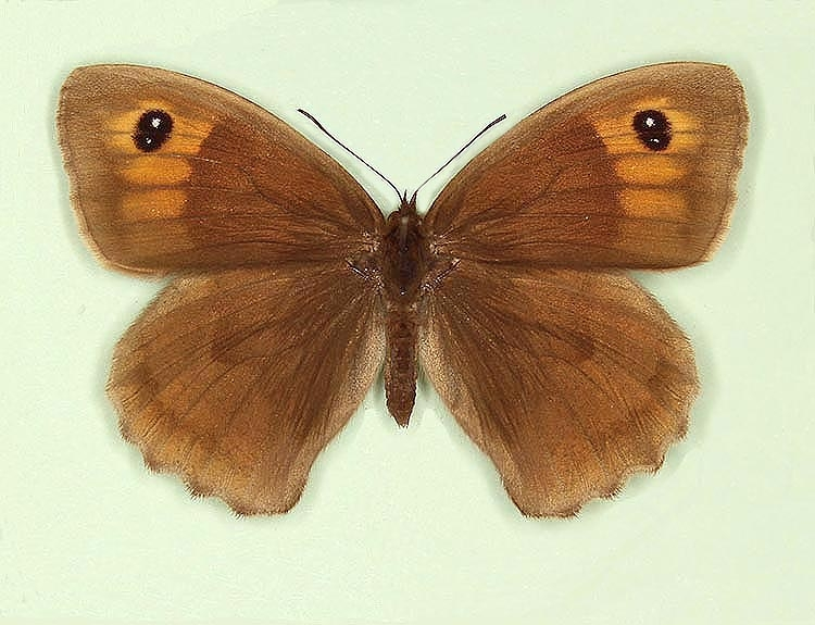 Typical Meadow Brown (Maniola jurtina)