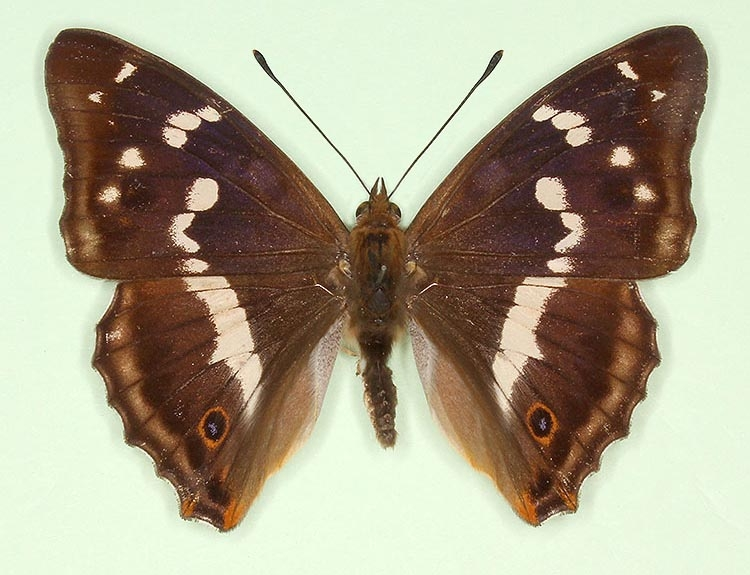 Typical Purple Emperor (Apatura iris)