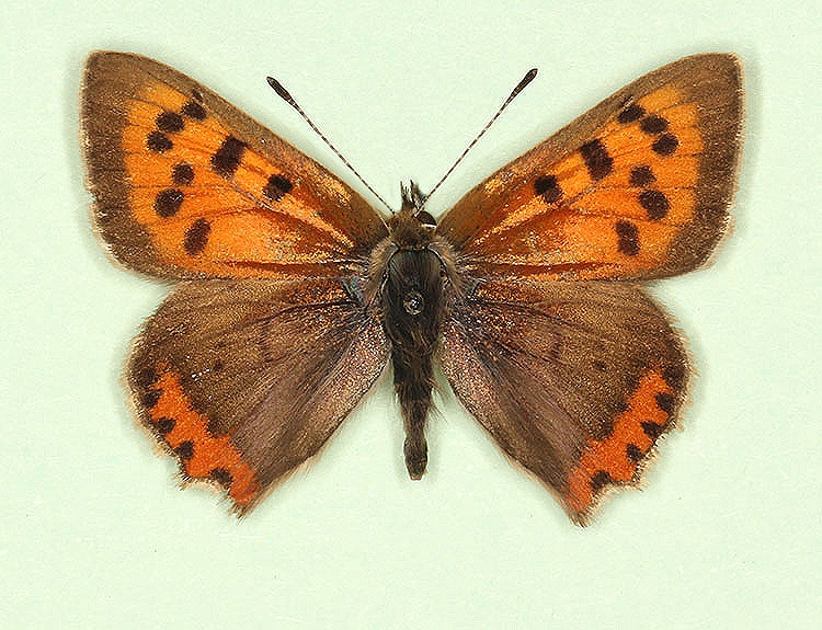 Typical Small Copper (Lycaena phlaeas)