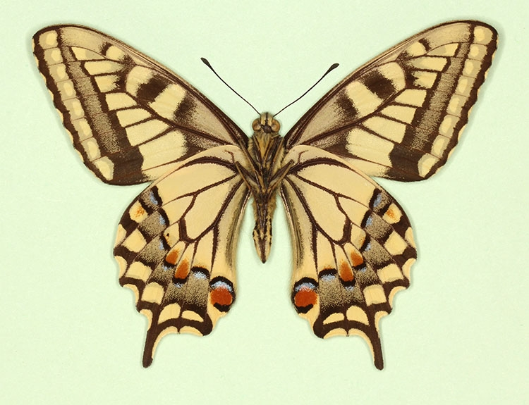 Typical Swallowtail (Papilio machaon)