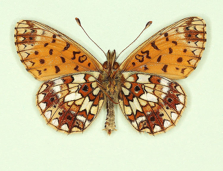 Typical Small Pearl-bordered Fritillary (Boloria selene)