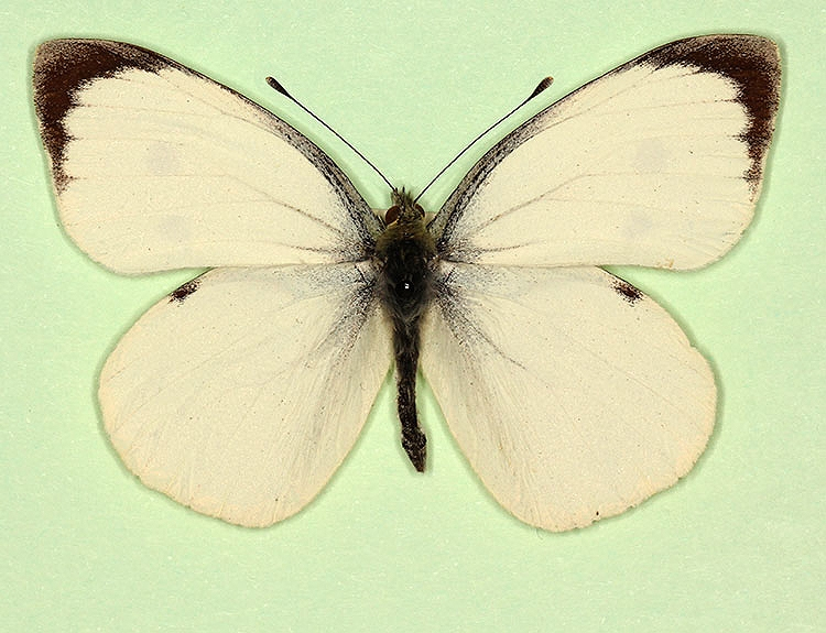 Typical Large White (Pieris brassicae)