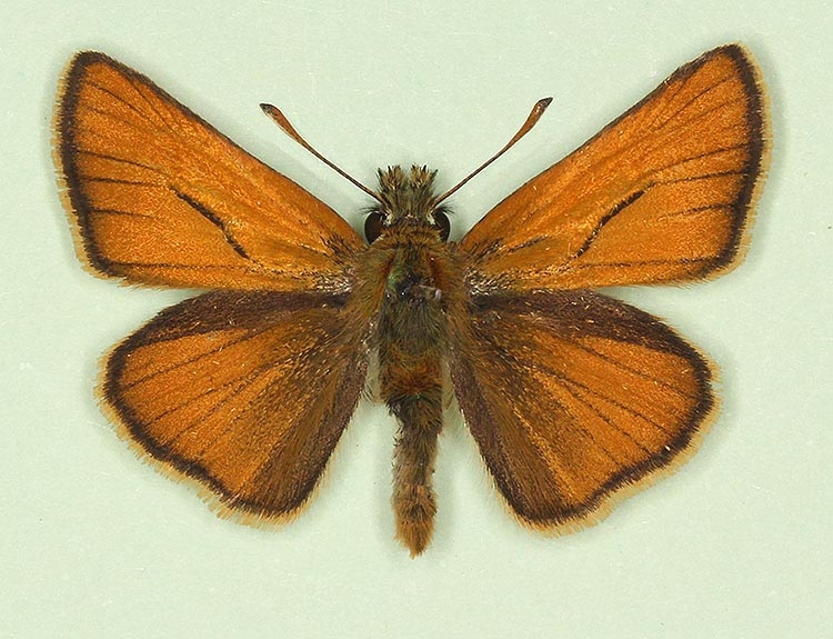 Typical Small Skipper (Thymelicus sylvestris)