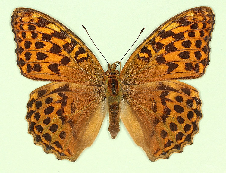 Typical Silver-washed Fritillary (Argynnis paphia)