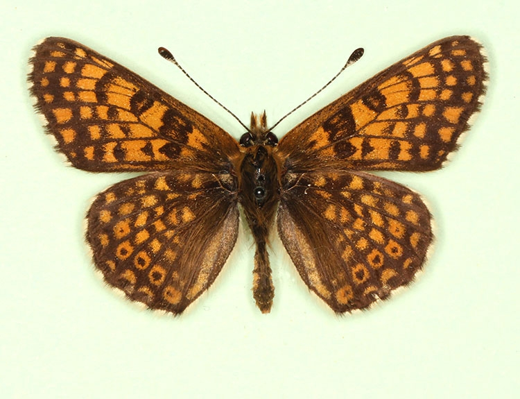 Typical Glanville Fritillary (Melitaea cinxia)