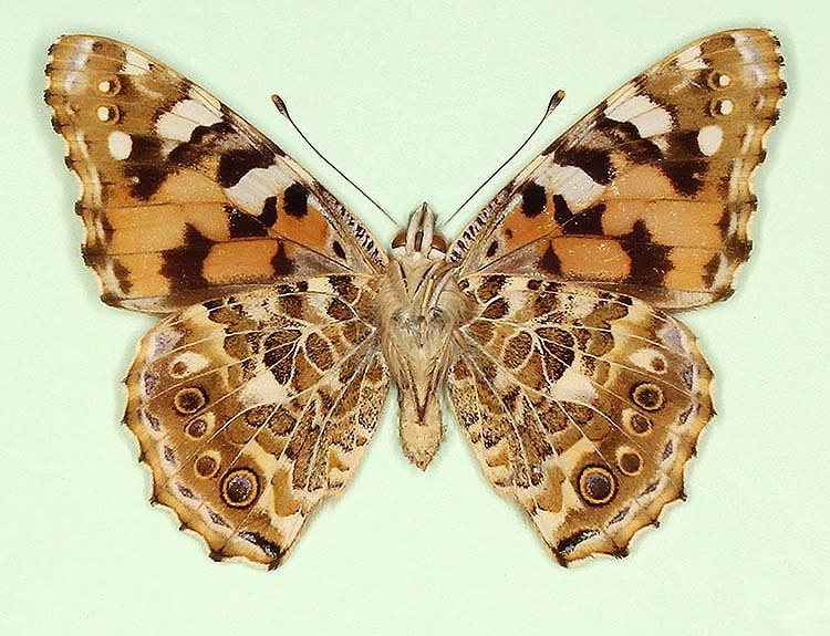 Typical Painted Lady (Vanessa cardui)