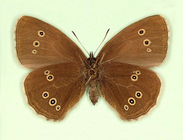 Typical Ringlet (Aphantopus hyperanthus)