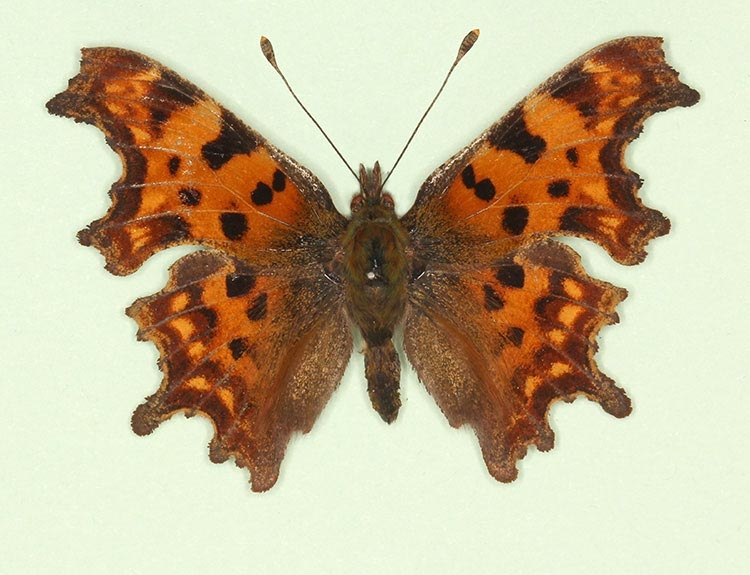 Typical Comma (Polygonia c-album)