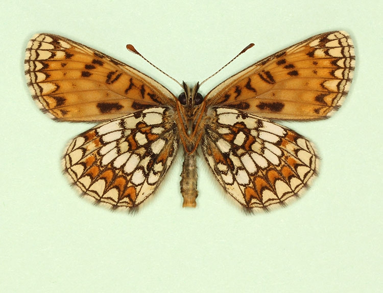 Typical Heath Fritillary (Melitaea athalia)