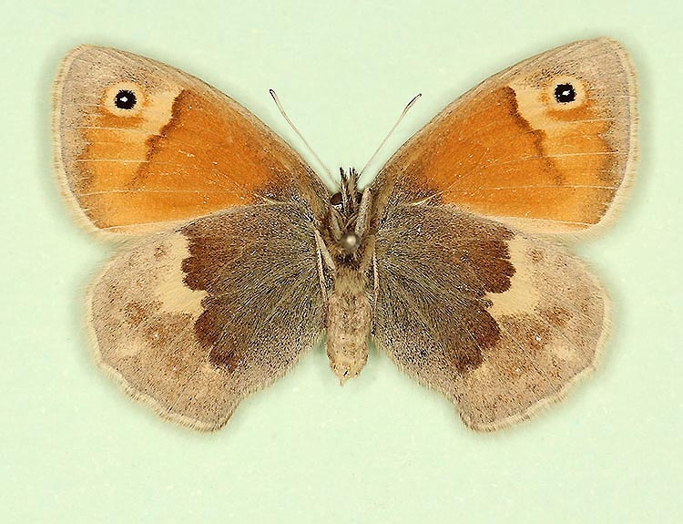 Typical Small Heath (Coenonympha pamphilus)