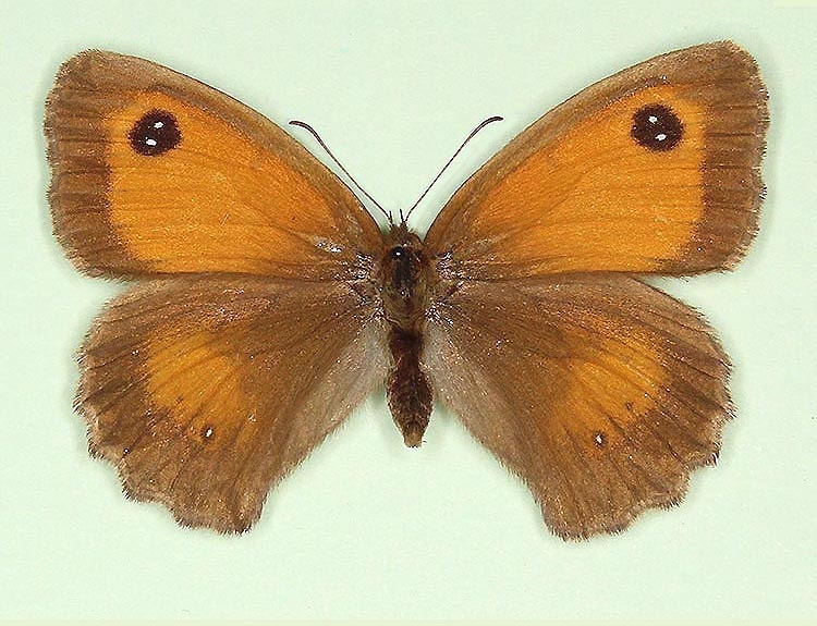 Typical Gatekeeper (Pyronia tithonus)