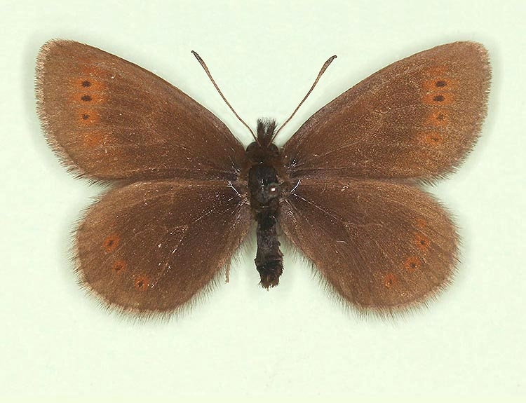 Typical Mountain Ringlet (Erebia epiphron)