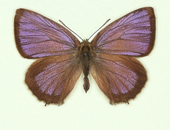 Purple Hairstreak (Neozephyrus quercus)