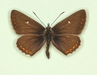 Northern Brown Argus (Aricia Artaxerxes)