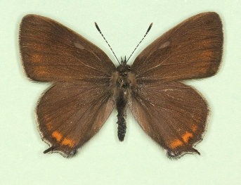 Black Hairstreak (Satyrium pruni)